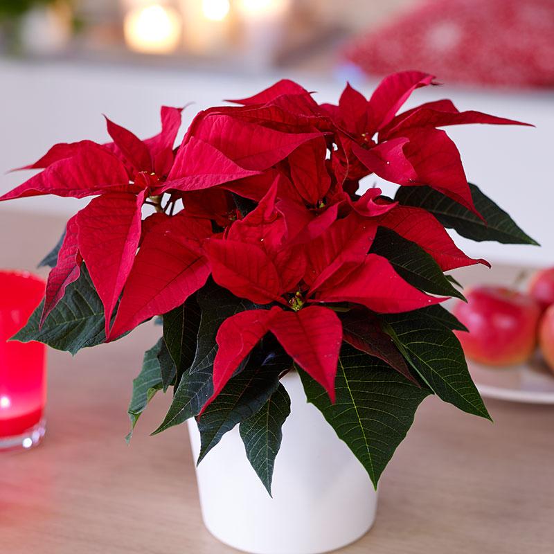 Рождественская звезда цветок — как ухаживать в домашних условиях