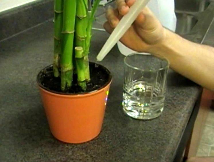 Драцена: выращивание и уход — как размножить и как часто поливать драцену