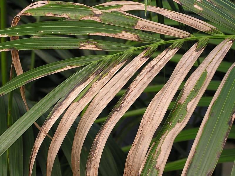 Почему сохнут и чернеют листья у хамедореи. причины засыхания листьев у хамедории. пересадка хамедореи в домашних условиях