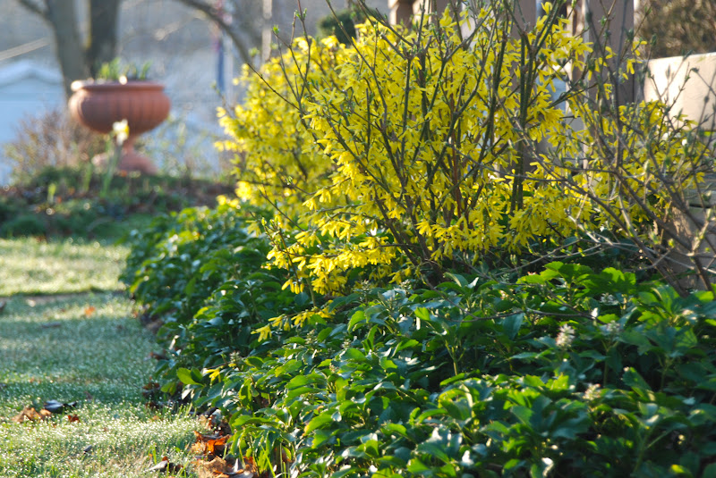 Растение форзиция: фото и описание цветка, размножение черенками и выращивание форзиции в саду