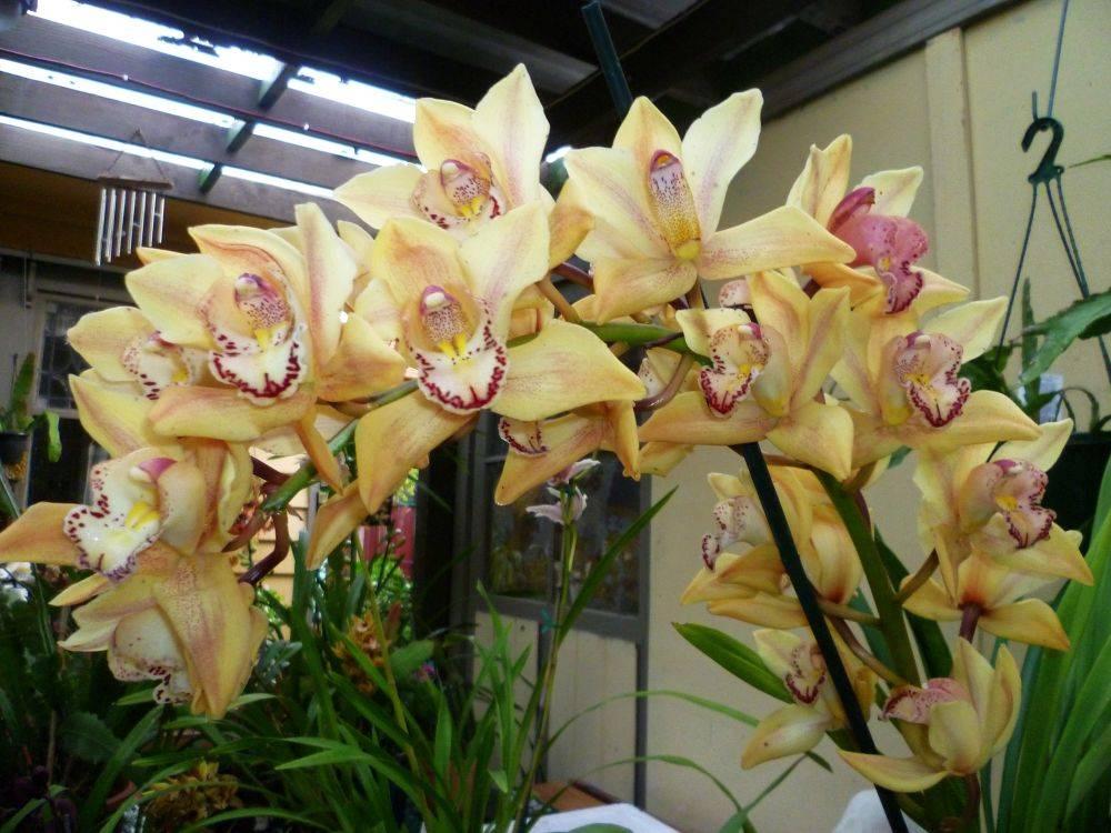 Уход за цимбидиумом – пошаговый алгоритм с фото пересадки орхидеи в домашних условиях, размножение цветка в квартире