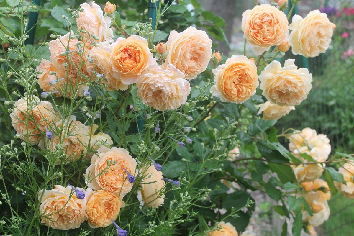 Английские розы дэвида остина | о розе