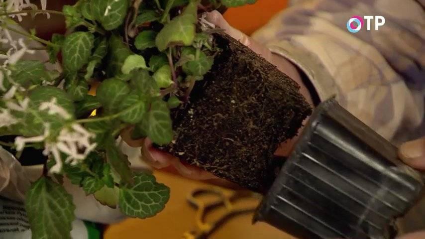 Мята на подоконнике: выращивание мяты в горшке, кк посадить и как растить