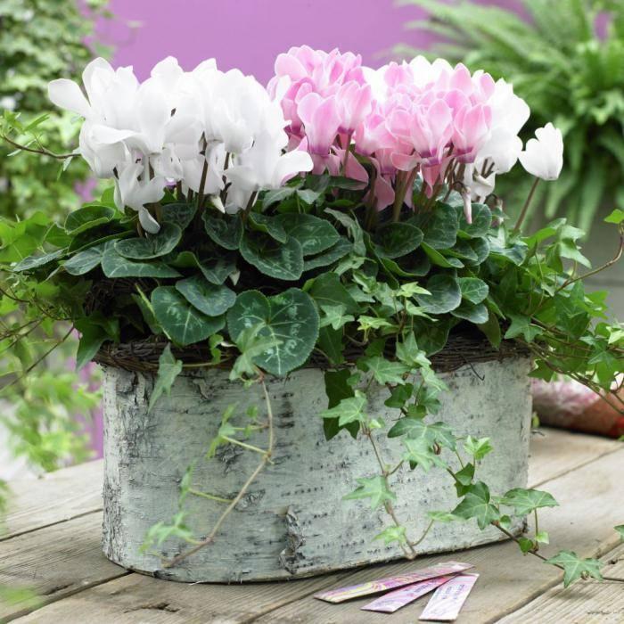 Уход за цикламеном в домашних условиях и размножение цветка