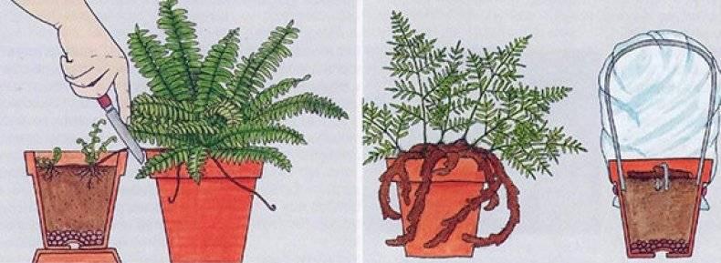 Комнатные папоротники: как ухаживать за декоративным цветком в домашних условиях