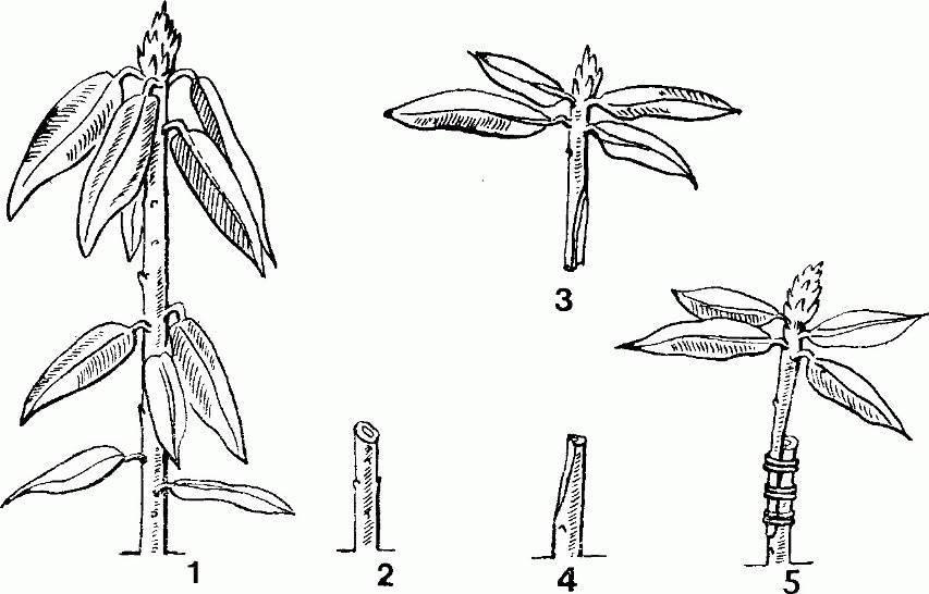 Бересклет - фото кустарника, описание, посадка и уход, сорта и виды, использование в ландшафтном дизайне