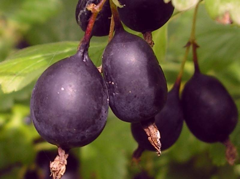 Черный крыжовник: фото, описание, выращивание, сорта