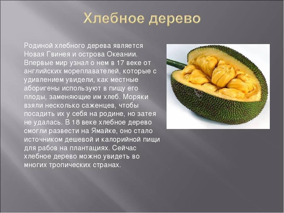 Хлебное дерево описание