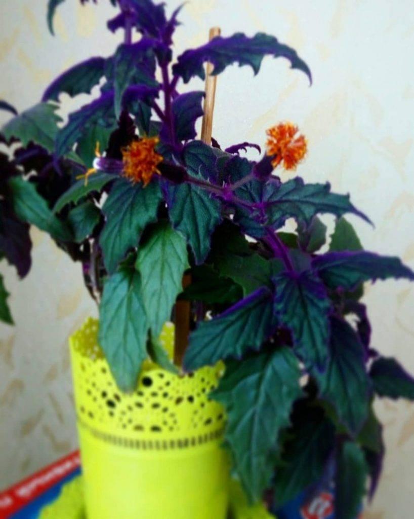 Когда гинура оранжевая, то счастье фиолетовое