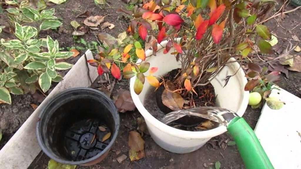 Как правильно сажать рододендрон: советы по уходу за растением в открытом грунте