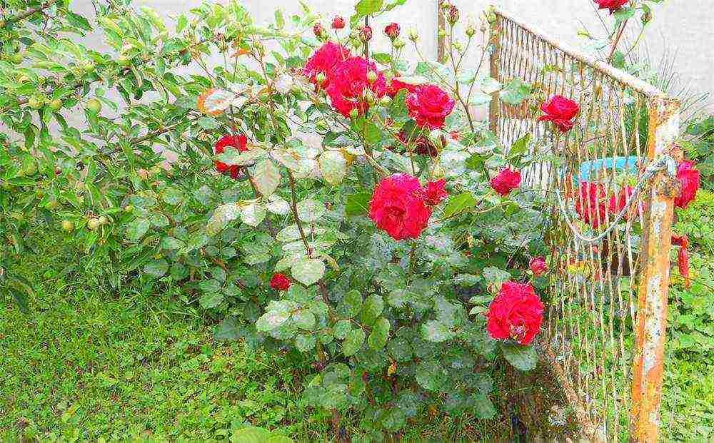 Роза дон жуан (don juan)