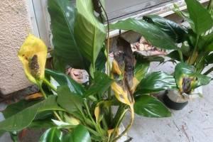 Черные листья у спатифиллума — причины и методы устранения