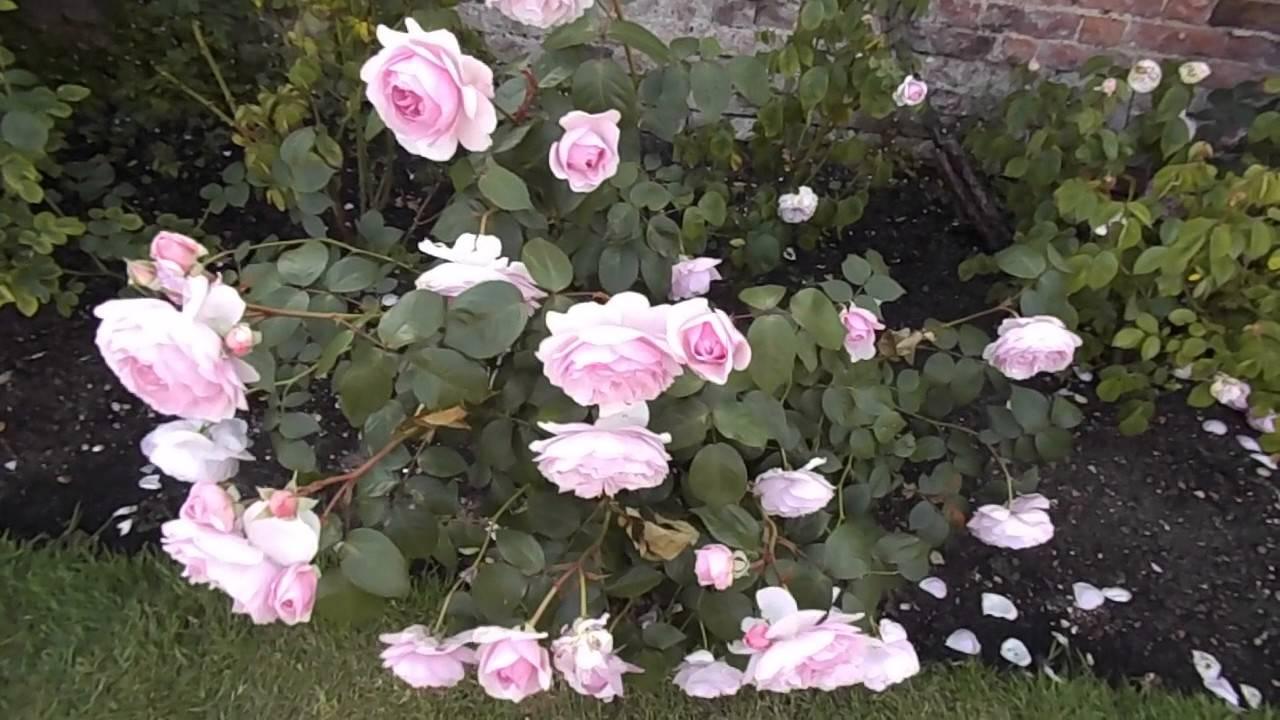 Характеристики английской сортовой розы мэри роуз: когда высаживать, как ухаживать