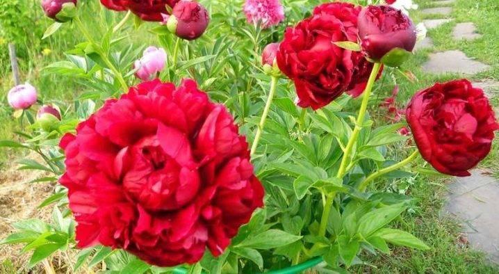 Древовидные пионы: названия сортов, посадка и уход
