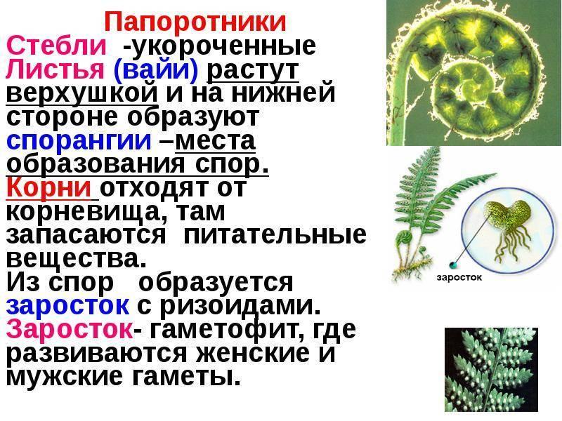 Как вырастить папоротник комнатный — уход в домашних условиях - pocvetam.ru