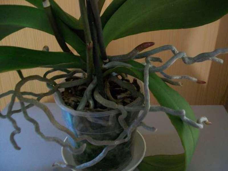 Сколько цветет орхидея? 19 фото как часто бывает цветение и как оно начинается? уход за орхидеей во время цветения