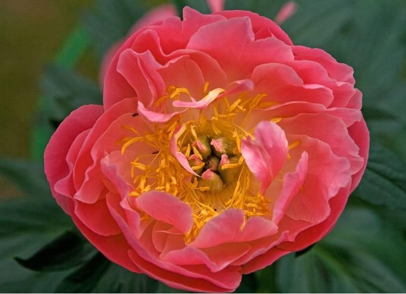 Описание пиона энджел чикс: особенности ухода за сортом ангел чикс во время цветения