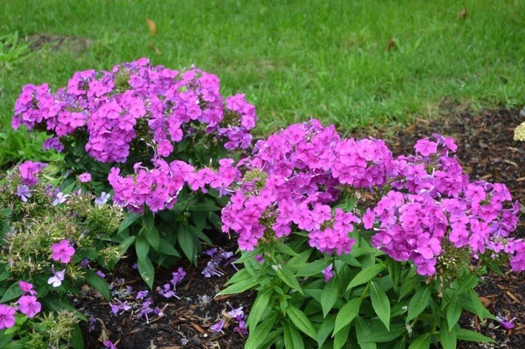 Когда сажать флоксы весной в открытый грунт