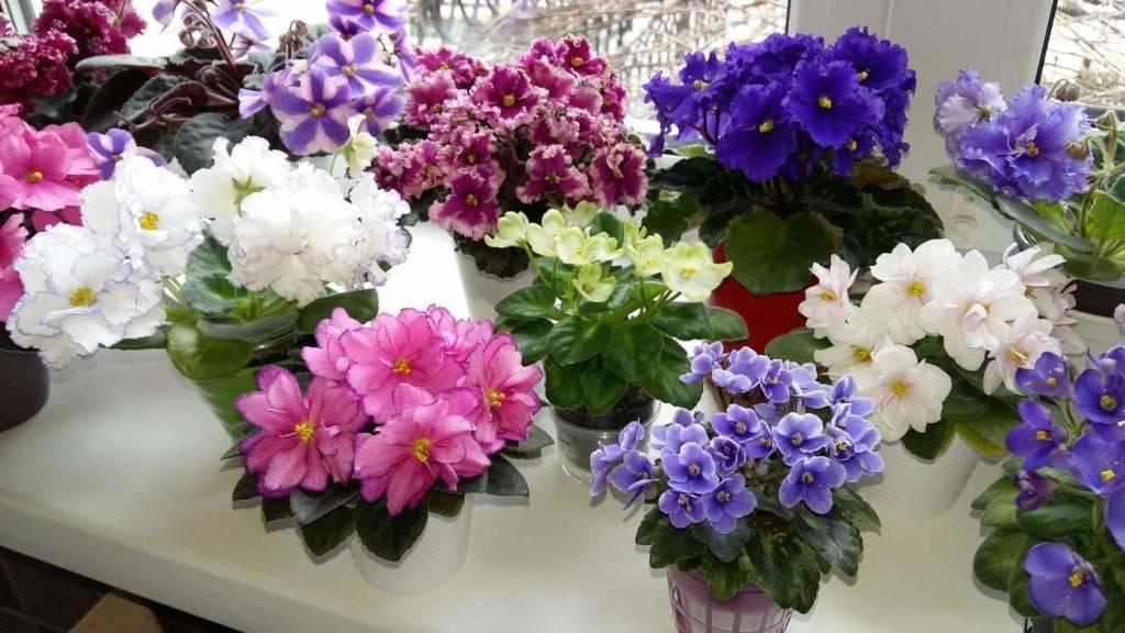 Правильный полив фиалок в домашних условиях: как поливать растения в горшке
