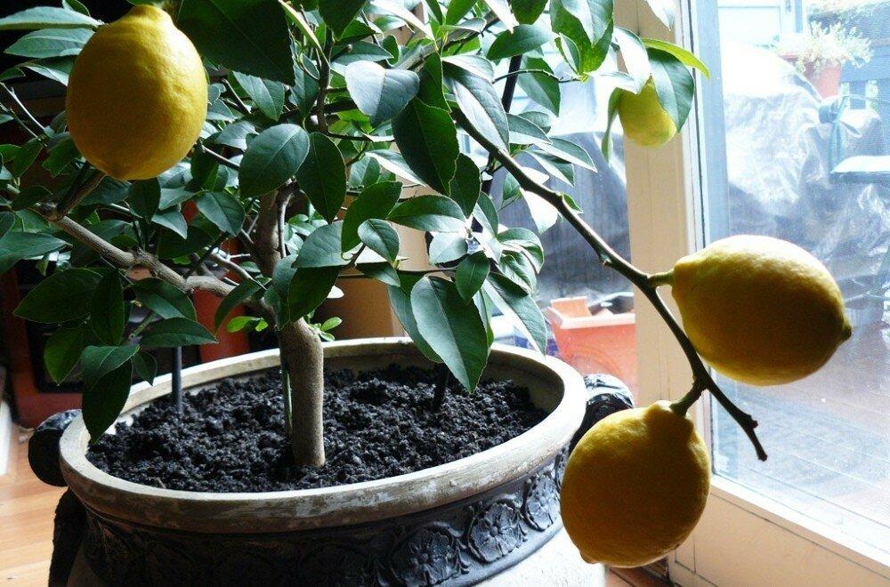 Цветки лимона: когда появляются в домашних условиях и почему может не быть, как заставить выпустить бутоны и что делать, если опадают или их нет, фото растения