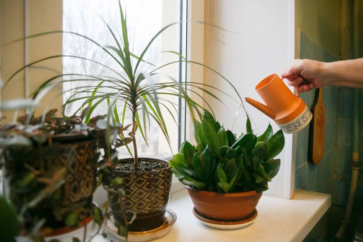 Условия пересадки и уход за гузманией дома: полив, температура, почва и другие
