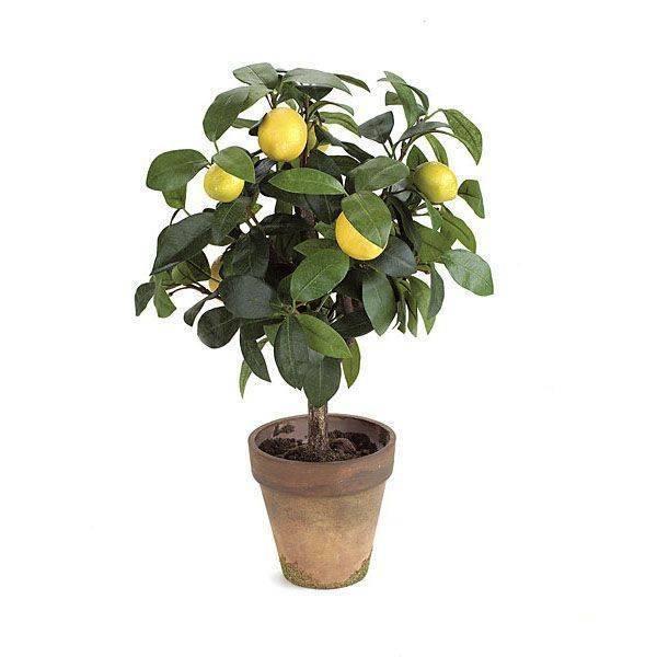 Лимонное дерево: описание сортов и уход дома