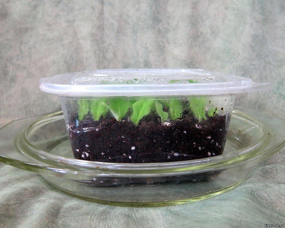 Стрептокарпус: уход в домашних условиях, выращивание из семян, фото