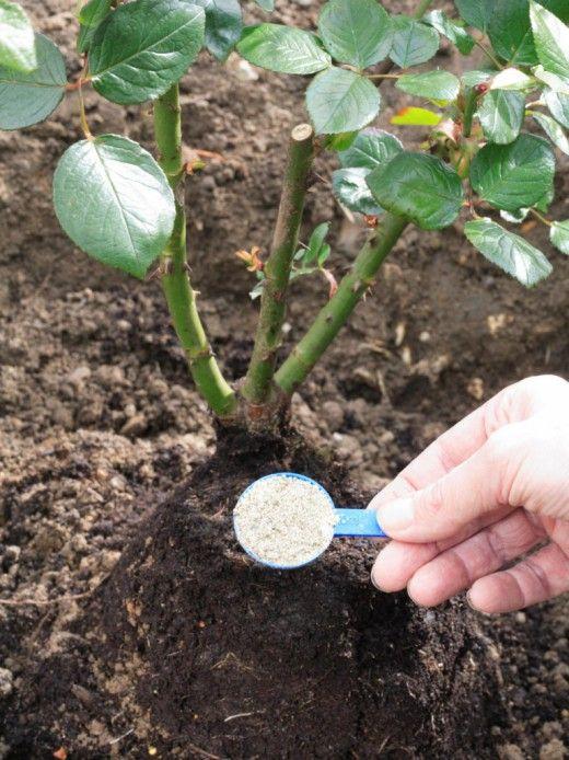 Корнесобственные розы — посадка и уход. высаживаем привитые и корнесобстенные розы как вырастить корнесобственные розы