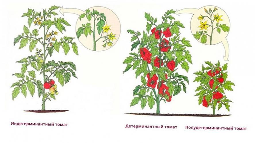 Уход за помидорами в открытом грунте: секреты большого урожая
