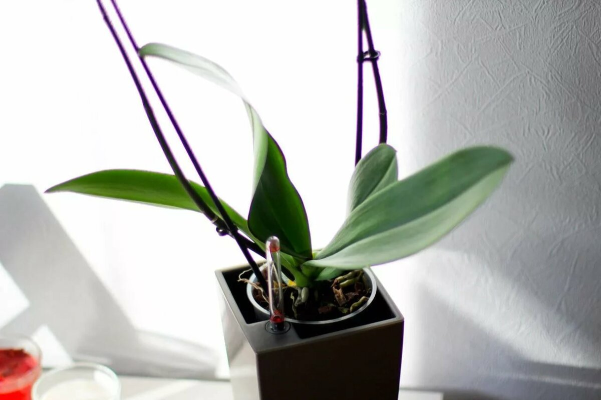 Орхидея отцвела: что же делать со стрелкой?