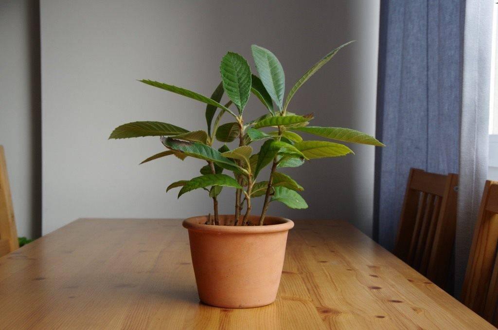 Как вырастить мушмулу из косточки: как посадить и когда будет плодоносить
