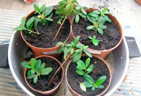 Всё о том как размножаются азалии черенками или семенами: как вырастить дома