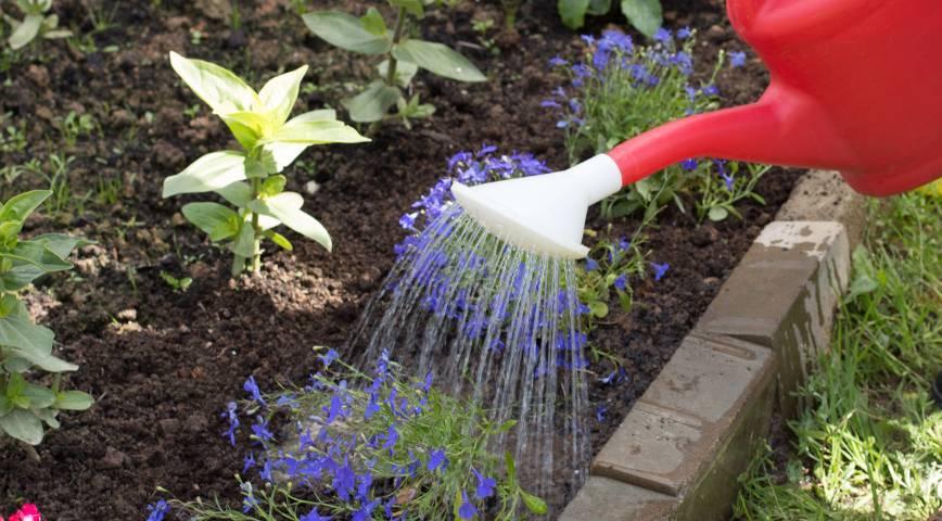 Как посадить ипомею в открытый грунт и правильно ухаживать за ней?