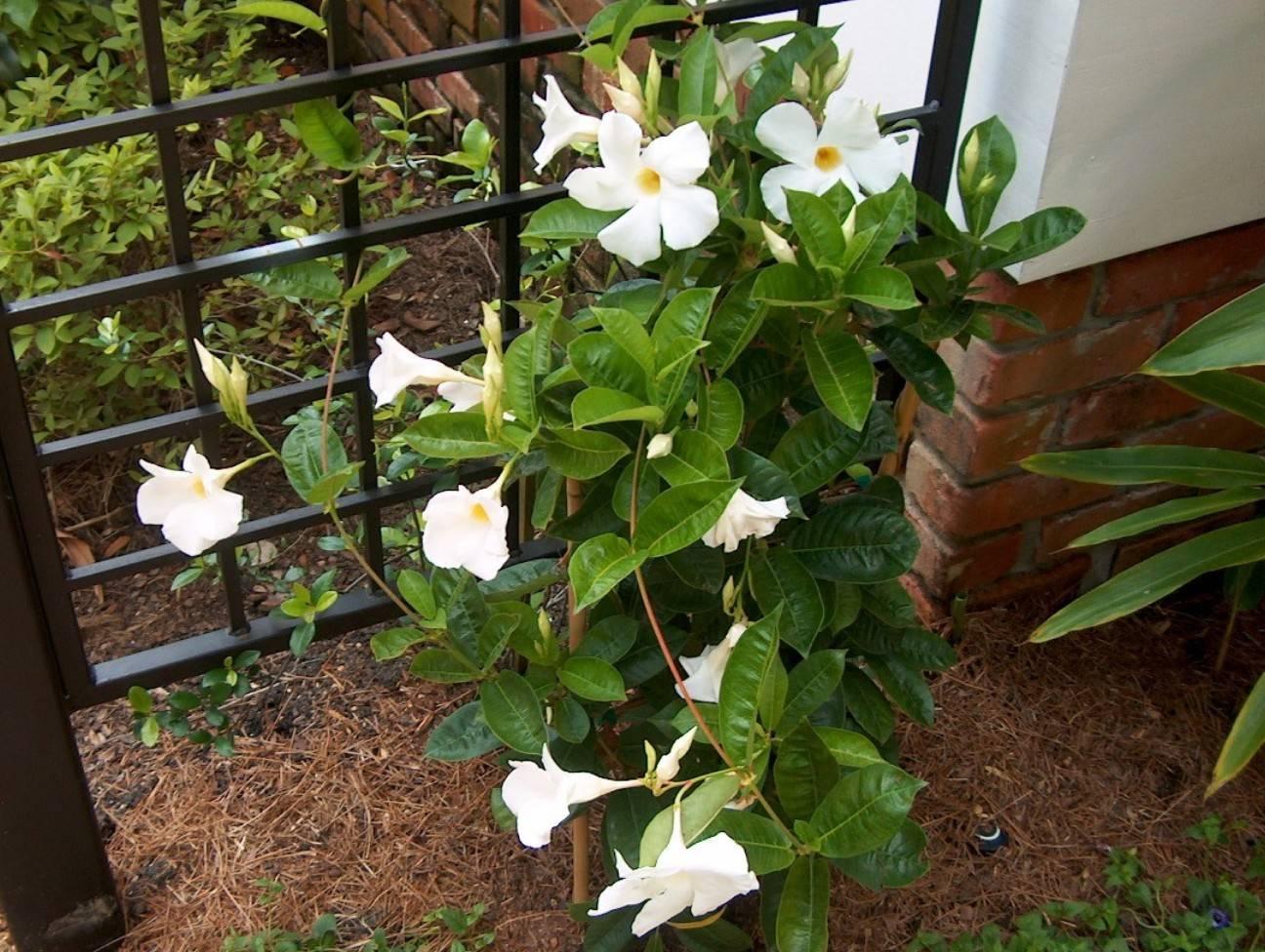 Дипладения цветок или ампельная мандевилла: уход в домашних условиях