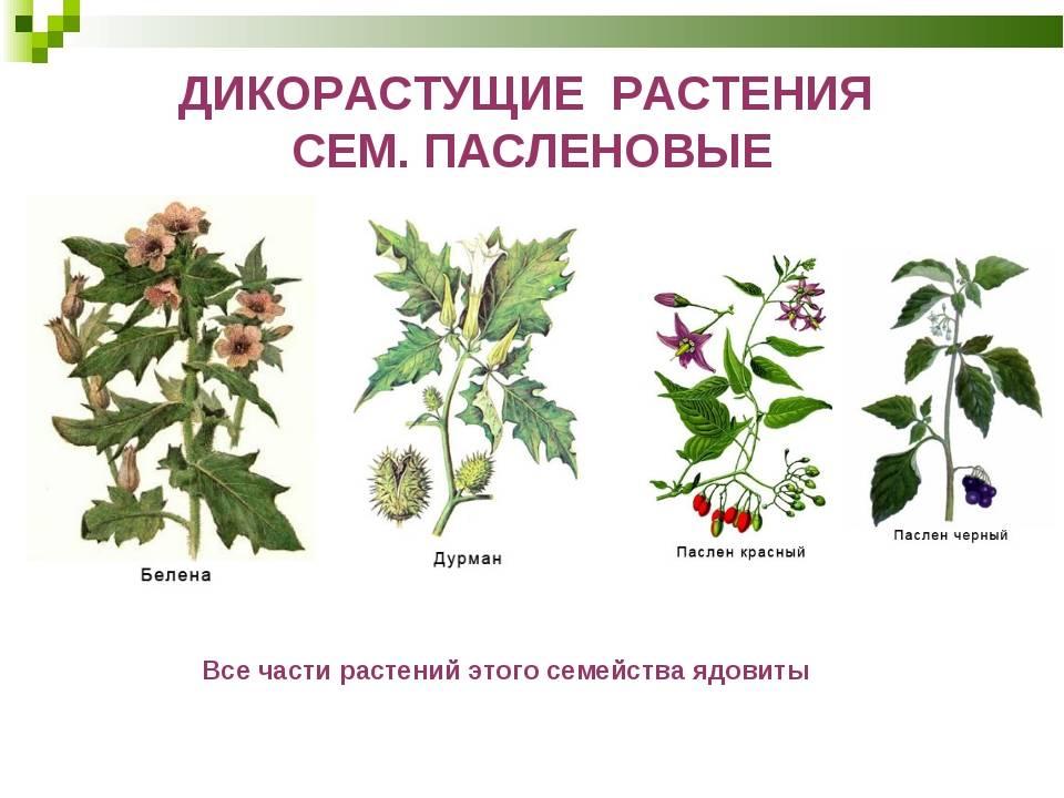Паслёновые — википедия с видео // wiki 2