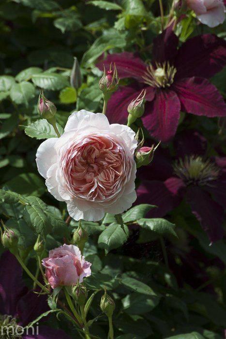 Роза вильям шекспир. все об английской розе