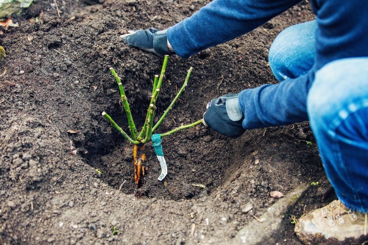 Посадка роз весной в открытый грунт саженцами: когда и как правильно сажать, как ухаживать, способы размножения, фото