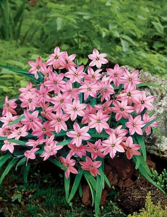 Цветок ифейон: выращивание и уход за растением