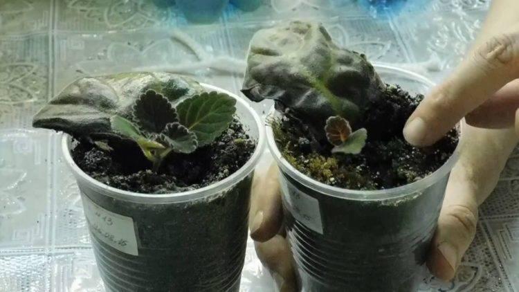 Болезни глоксинии с фотографиями и их лечение: почему цветы вытягиваются, какой нужен уход в домашних условиях, чтобы спасти от загнивания, иных недугов, вредителей?