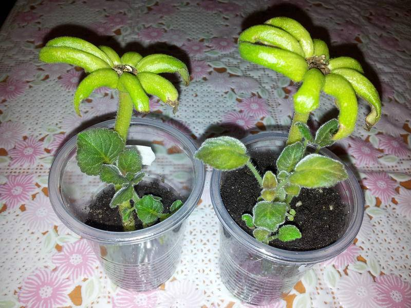 Глоксиния из семян: как выращивать в домашних условиях, пошаговое фото этого процесса, как правильно сажать и какие нужны условия для растения