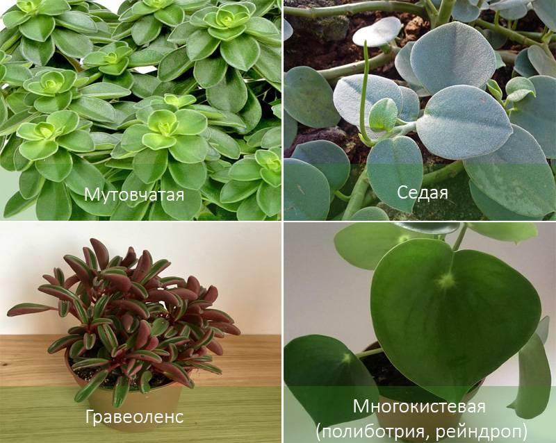 Виды пеперомий, комнатного цветка: гравеоленс, многокистевая, перескиелистная