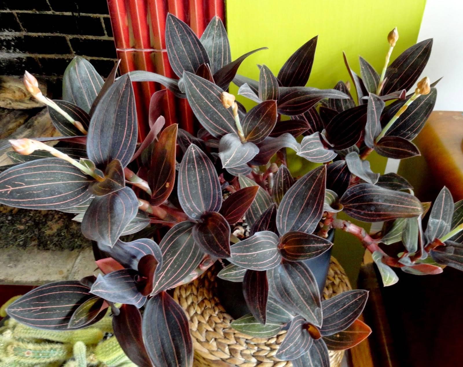 Примеры по уходу за орхидеей ваниль: домашние условия содержания и выращивания