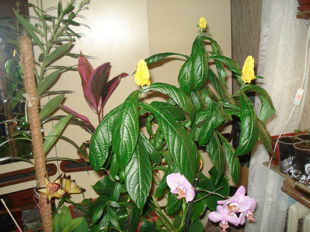 Комнатный цветок пахистахис