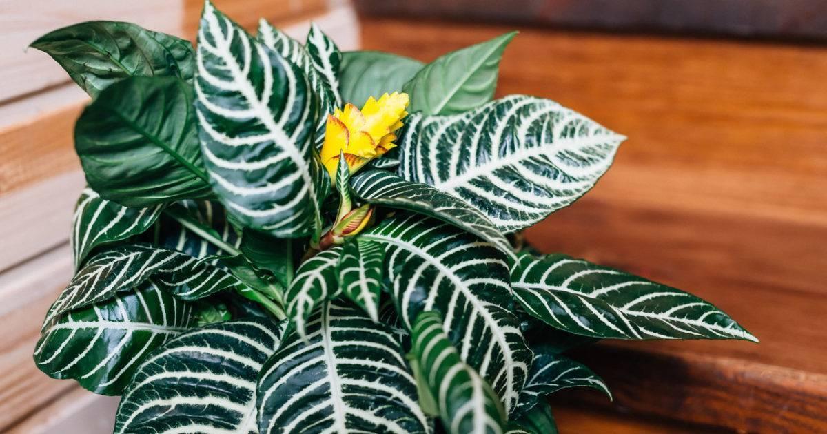 Афеландра: уход в домашних условиях, фото цветка, особенности размножения, а также как вырастить, какой покупной грунт подойдет?