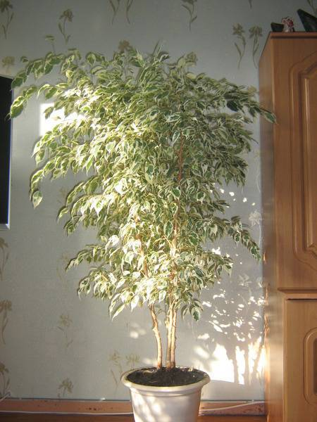 Комнатное растение березка уход