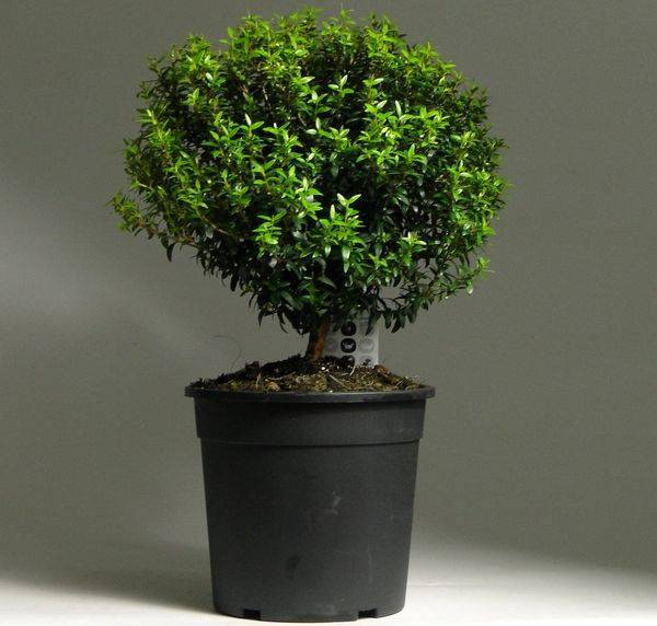 Мирт (47 фото): как ухаживать за комнатным цветком в домашних условиях зимой? как размножить мирт обыкновенный? что делать, если дерево сбрасывает листья?