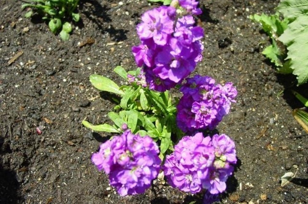 Ночные фиалки. цветок маттиола - фото