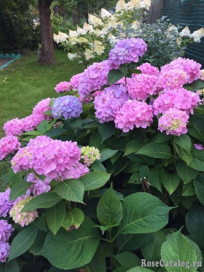 Как ухаживать за гортензией садовой: почему не цветет, как поменять цвет и многое другое