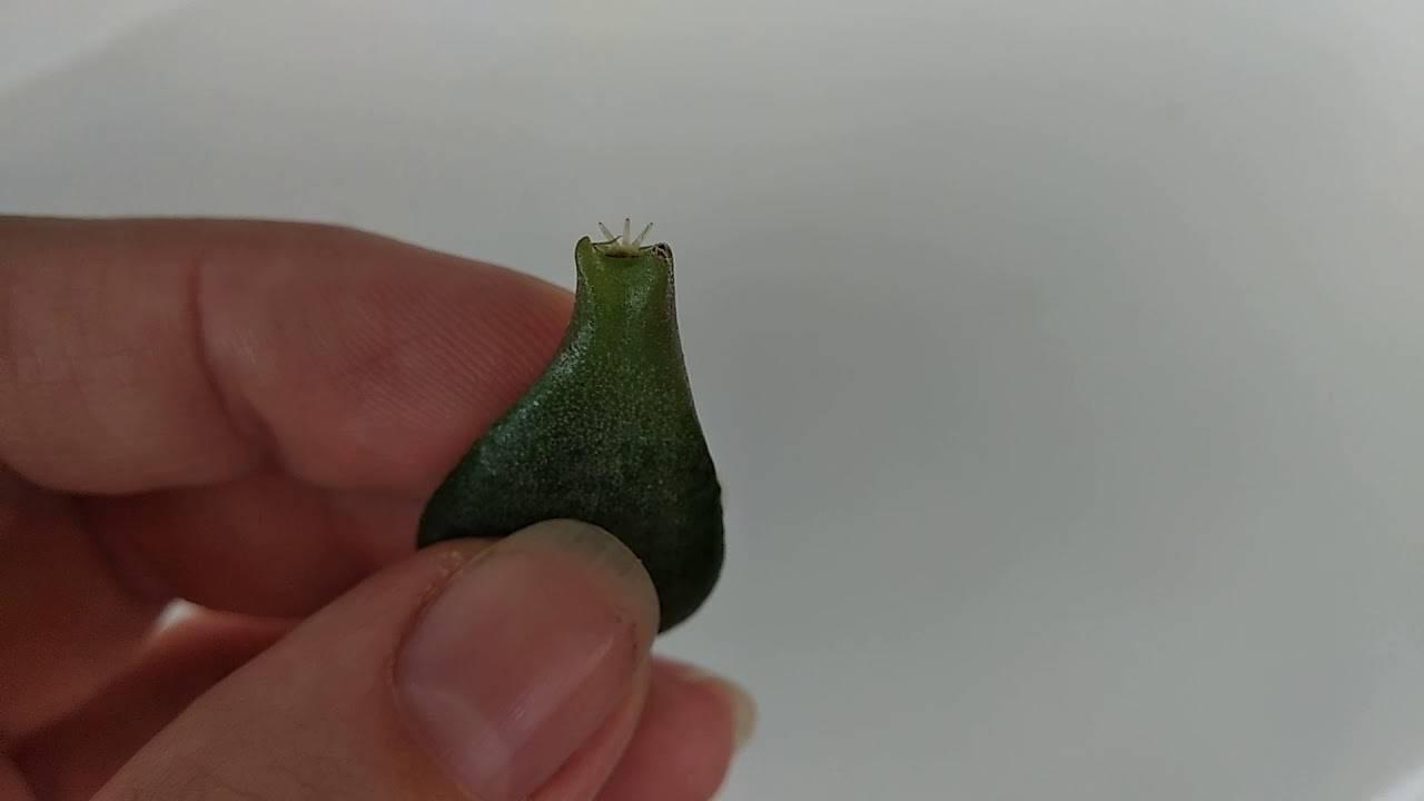 Толстянка: размножение денежного дерева черенками. советы для начинающих цветоводов
