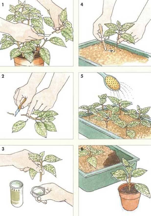 Броваллия: посадка и уход, выращивание, размножение, фото и описание - читайте на орхис
